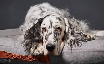 Gepunkteter großer Hund auf grauem Hundebett