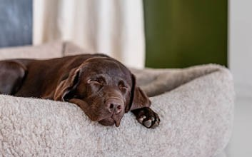 Teddy Hundebett mit Umrandung zum Kopf ablegen mit braunem Labrador