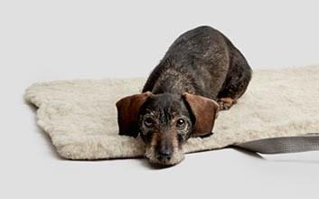 Rauhaar-Hund auf Reisebett für Hunde