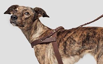 Gestromter Hund mit braunem Ledergeschirr