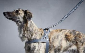 Silken Windsprite mit Ledergeschirr und geflochtener Hundeleine