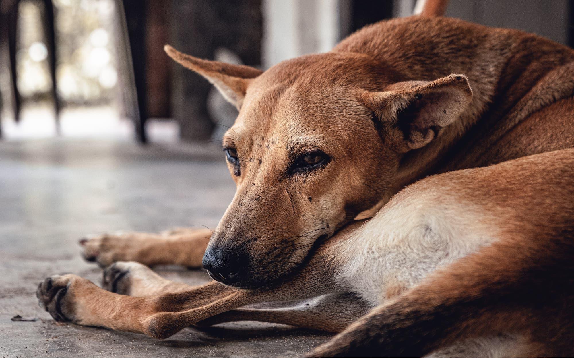 Hund mit Zecken