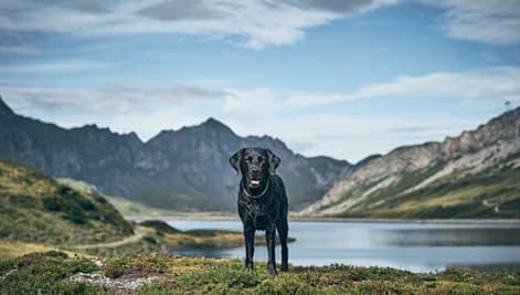 Schwarzer Labrador in den Alpen
