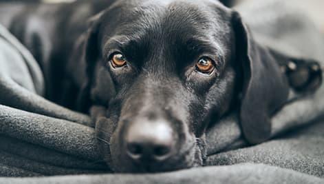 Schwarzer Labrador auf kuscheliger Decke