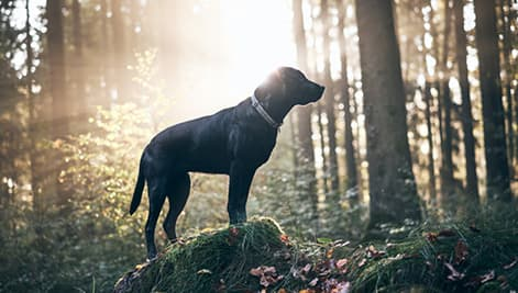 Schwarzer Labrador steht auf Baumstamm