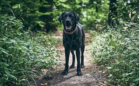 Schwarzer Labrador in Szene gesetzt