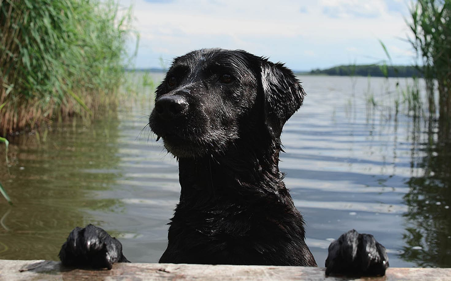 Labrador swimming in the lake