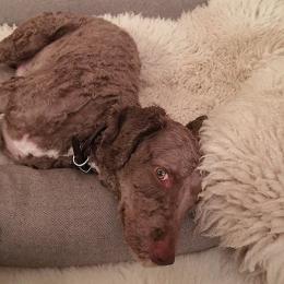 Pedro (Hundebett Sleepy Deluxe Tweed Grey)
