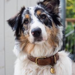 Puck (Dog Collar Tiergarten Mocca)