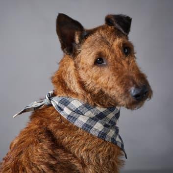 Hund trägt kariertes Halstuch