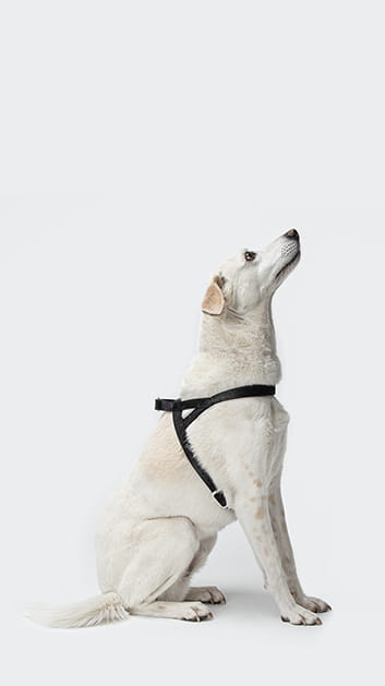 white dog wearing black harness